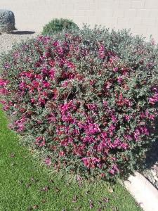 valentine bush